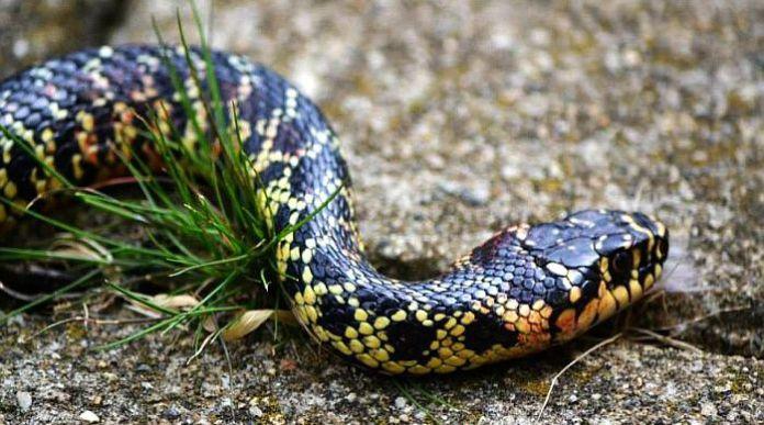 Serpenti d 39 italia bisce colubri e natrici for Serpente frustone