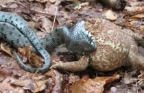Serpenti d'Italia, Colubro dal Collare, Natrix natrix